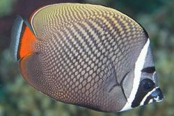 BD-150421-Maldives-7614-Chaetodon-collare.-Bloch.-1787-[Redtail-butterflyfish].jpg